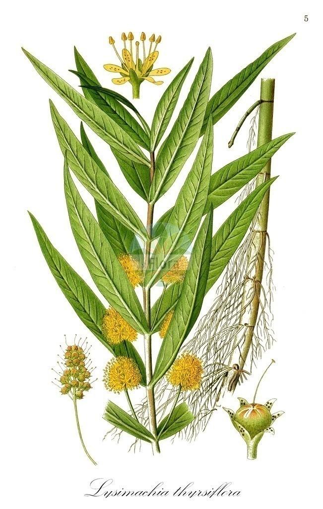 Historical drawing of Lysimachia thyrsiflora (Tufted Loosestrife) | Historical drawing of Lysimachia thyrsiflora (Tufted Loosestrife) showing leaf, flower, fruit, seed