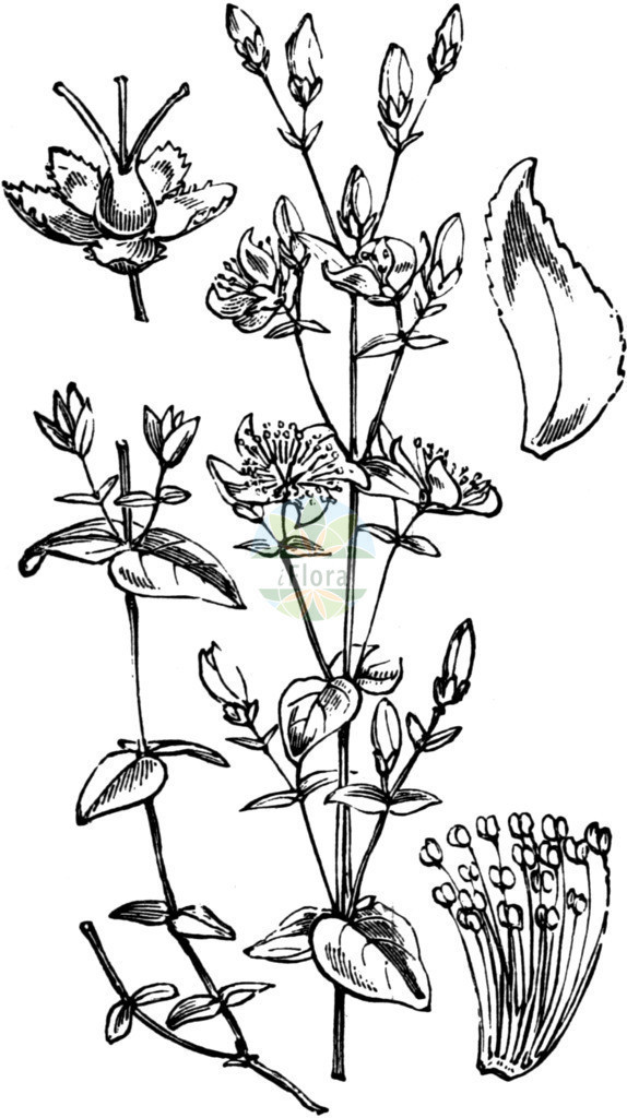 Hypericum pulchrum (Schoenes Johanniskraut - Slender St John's-wo | Historische Abbildung von Hypericum pulchrum (Schoenes Johanniskraut - Slender St John's-wort). Das Bild zeigt Blatt, Bluete, Frucht und Same. ---- Historical Drawing of Hypericum pulchrum (Schoenes Johanniskraut - Slender St John's-wort).The image is showing leaf, flower, fruit an