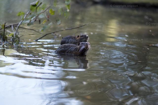Zwei schwimmende Biberratten | Zwei in einem Teich schwimmenden Biberratten.