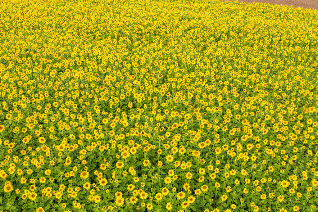 JT-161007-006 | Sonnenblumen Feld, viele Sonnenblumen, Helianthus annuus,