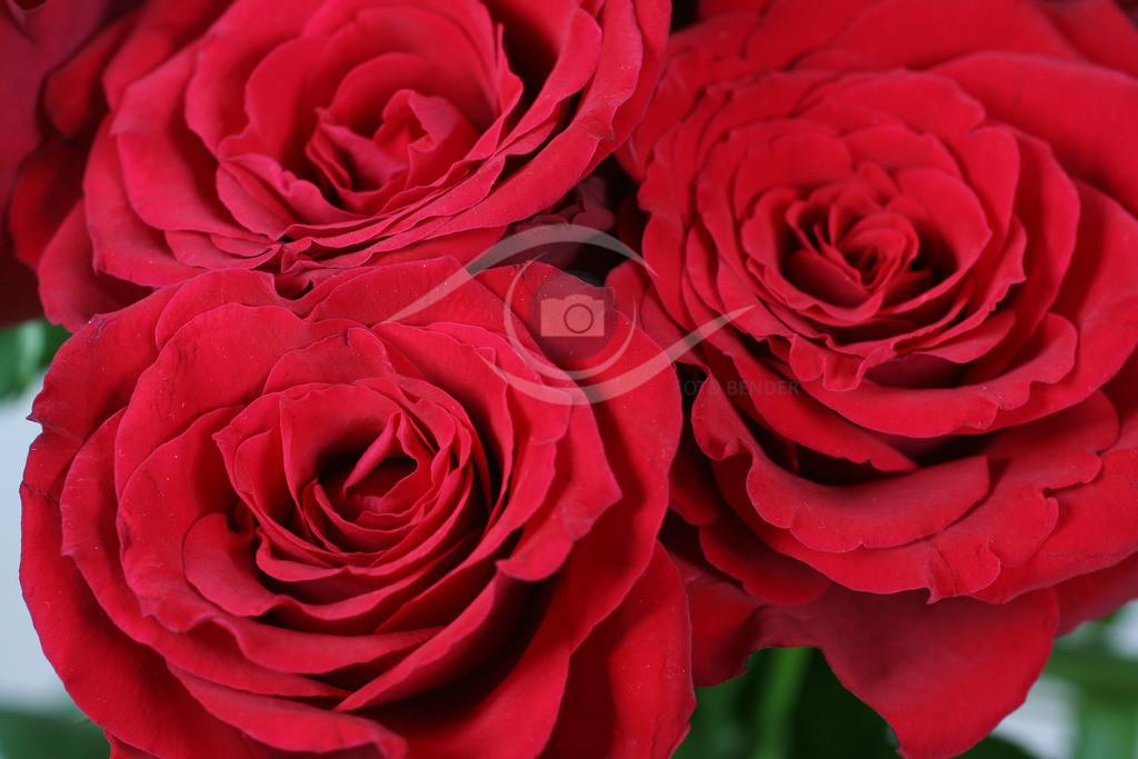 Rose (27)