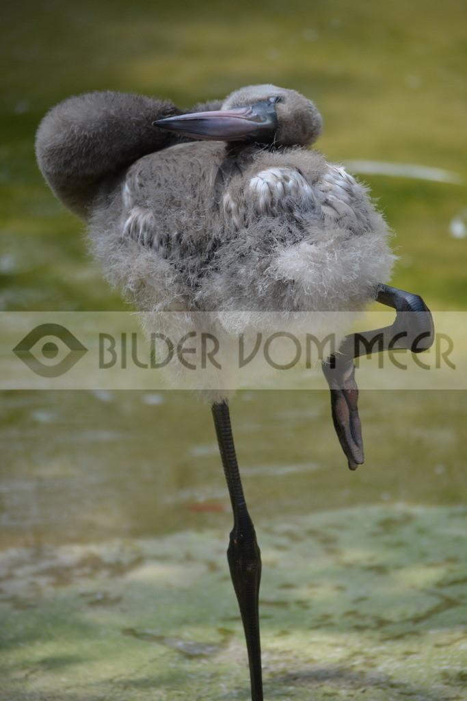 Bilder vom Meer Flamingo | Bilder rosa Flamingo