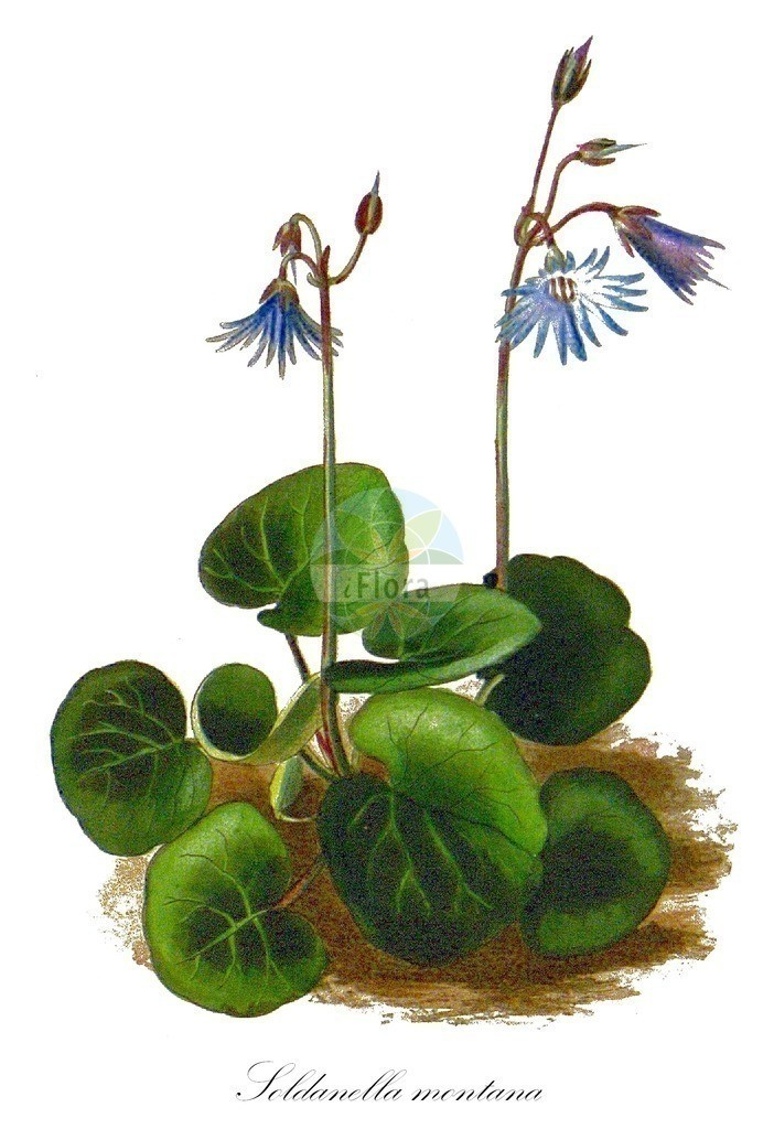 Historical drawing of Soldanella montana (Mountain Snowbell) | Historical drawing of Soldanella montana (Mountain Snowbell) showing leaf, flower, fruit, seed