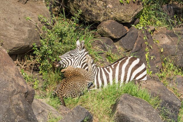Leopardattacke | Nach einer Weile erlahmt der Widerstand des Zebras und es wird vom Leoparden getötet.