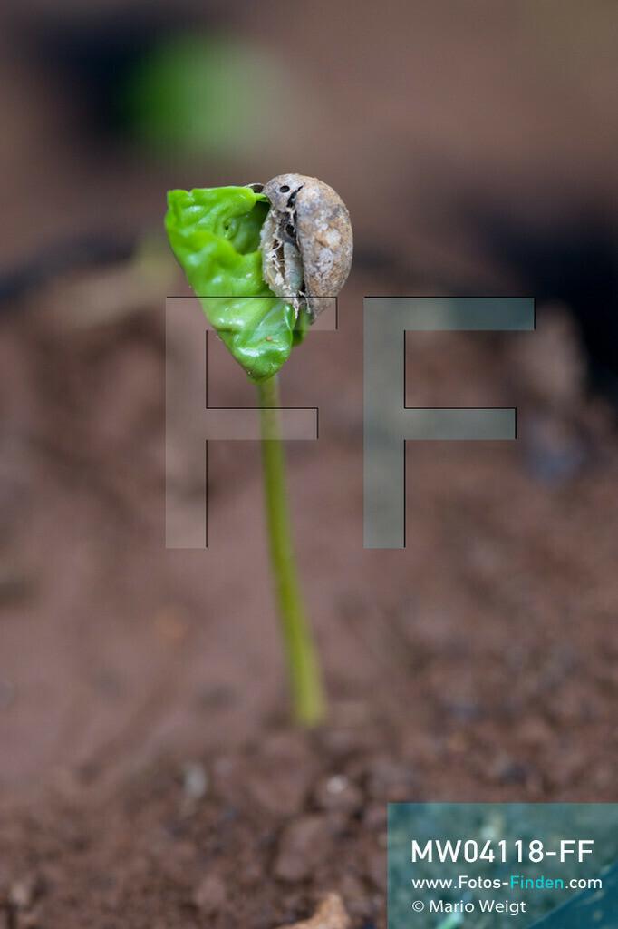 MW04118-FF | Laos | Paksong | Reportage: Kaffeeproduktion in Laos | Kleine Kaffeepflanze. In den Plantagen auf dem Bolaven-Plateau gedeihen Sträucher der Kaffeesorten Robusta und Arabica.  ** Feindaten bitte anfragen bei Mario Weigt Photography, info@asia-stories.com **