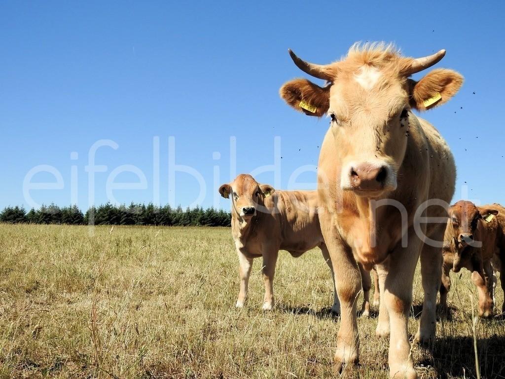 Rinder auf der Weide | Landleben in der Vulkaneifel