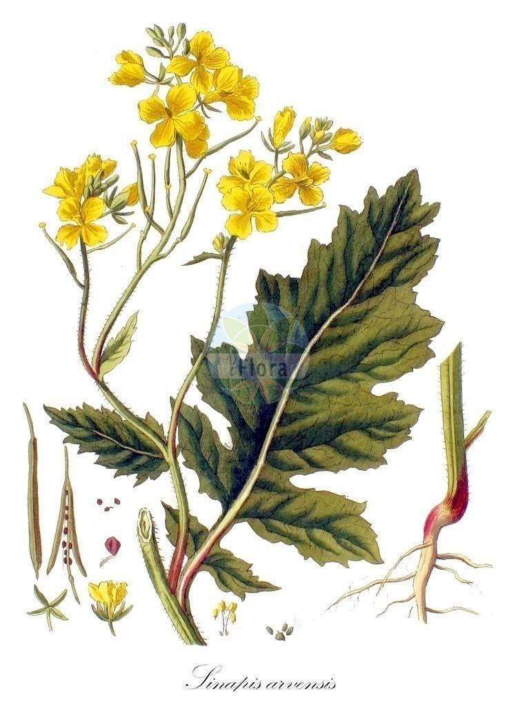 Historical drawing of Sinapis arvensis (Charlock) | Historical drawing of Sinapis arvensis (Charlock) showing leaf, flower, fruit, seed