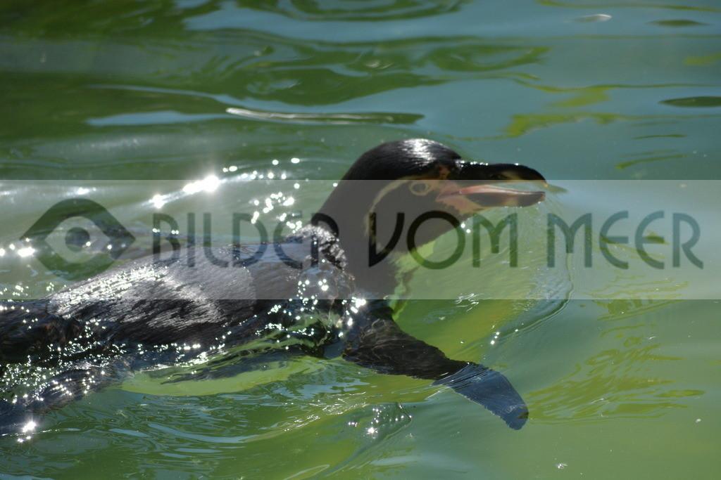 Pinguine Bilder | Foto Pinguin Bild Itallien