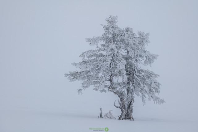 Arve im Schnee | Wunderschöne Arve im Schneegestöber