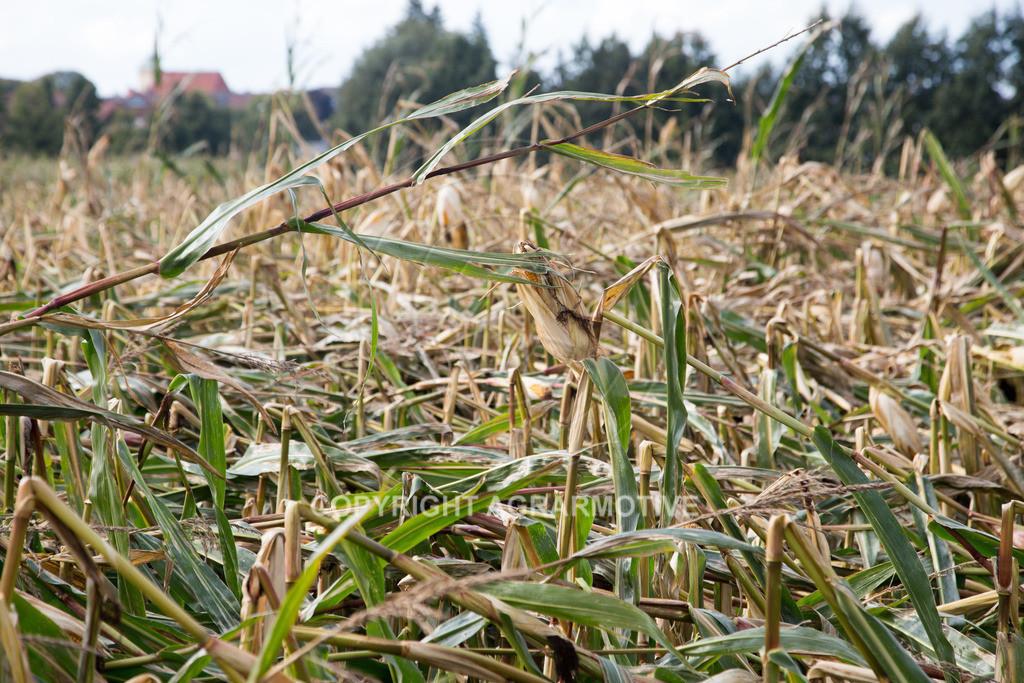 20170917-IMG_1136   Ernteschaden im Mais durch Herbssturm