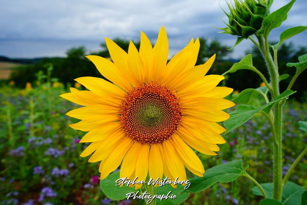 Sonnenblume    Eine Sonnenblume auf einer Wildblumenwiese bei Dörrmoschel