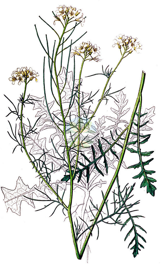Sisymbrium altissimum (Ungarische Rauke - Tall Rocket) | Historische Abbildung von Sisymbrium altissimum (Ungarische Rauke - Tall Rocket). Das Bild zeigt Blatt, Bluete, Frucht und Same. ---- Historical Drawing of Sisymbrium altissimum (Ungarische Rauke - Tall Rocket).The image is showing leaf, flower, fruit and seed.