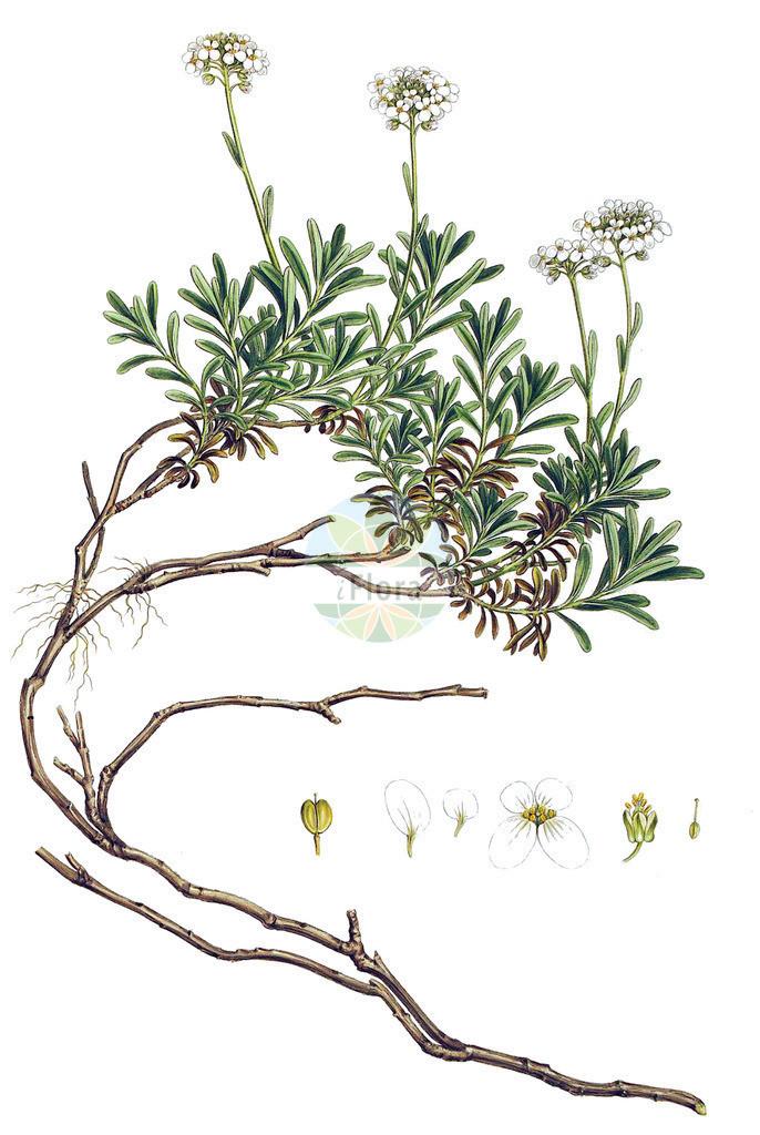 Iberis sempervirens | Historische Abbildung von Iberis sempervirens. Das Bild zeigt Blatt, Bluete, Frucht und Same. ---- Historical Drawing of Iberis sempervirens.The image is showing leaf, flower, fruit and seed.
