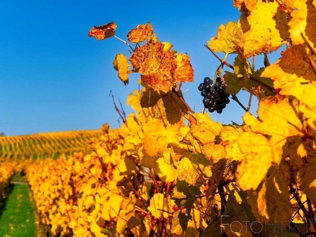herbsliche Weinstöcke | herbstlich gefärbte Weinstöcke mit einer letzten Rebe roter Trauben