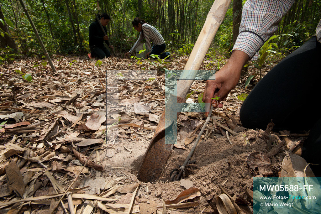 MW05688-FF   Kambodscha   Provinz Kampong Cham   Skoun   Reportage: Kambodschas achtbeiniger Snack   Shin ist mit ihren Freundinnen auf Vogelspinnenjagd. Shin drückt auf den Rücken der Spinne, um ihre Flucht zu verhintern. Im Hintergrund graben ihre Freundinnen nach der nächsten schwarzen Spinne. In heißem Öl knusprig gebraten, mit Glutamat, Salz und Zucker vermischt und obendrein mit hauchdünnen Knoblauchscheiben verfeinert - so mögen die Kambodschaner ihre schwarzen Vogelspinnen.  ** Feindaten bitte anfragen bei Mario Weigt Photography, info@asia-stories.com **
