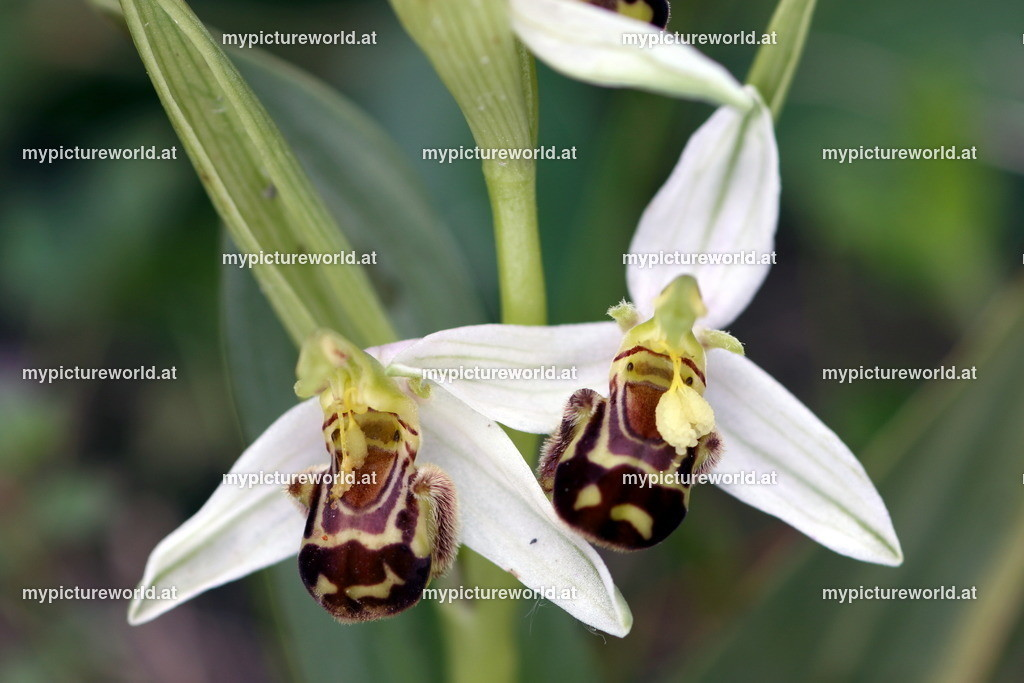 Bienen-Ragwurz-009