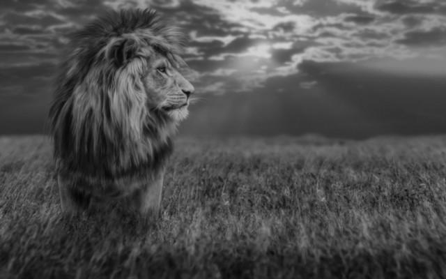 Lion B/W
