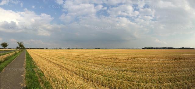 Feldweg inmitten des reifen Weizens | Panorama eines gelben reifen Weizenfelds mit einem Feldweg.