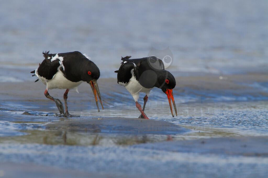 Austernfischer |  Der Austernfischer ist eine Vogelart aus der Ordnung der Wat-, Möwen- und Alkenvögel und der Gattung der Austernfischer. Er gilt als einer der charakteristischsten Vögel der Nordseeküste.