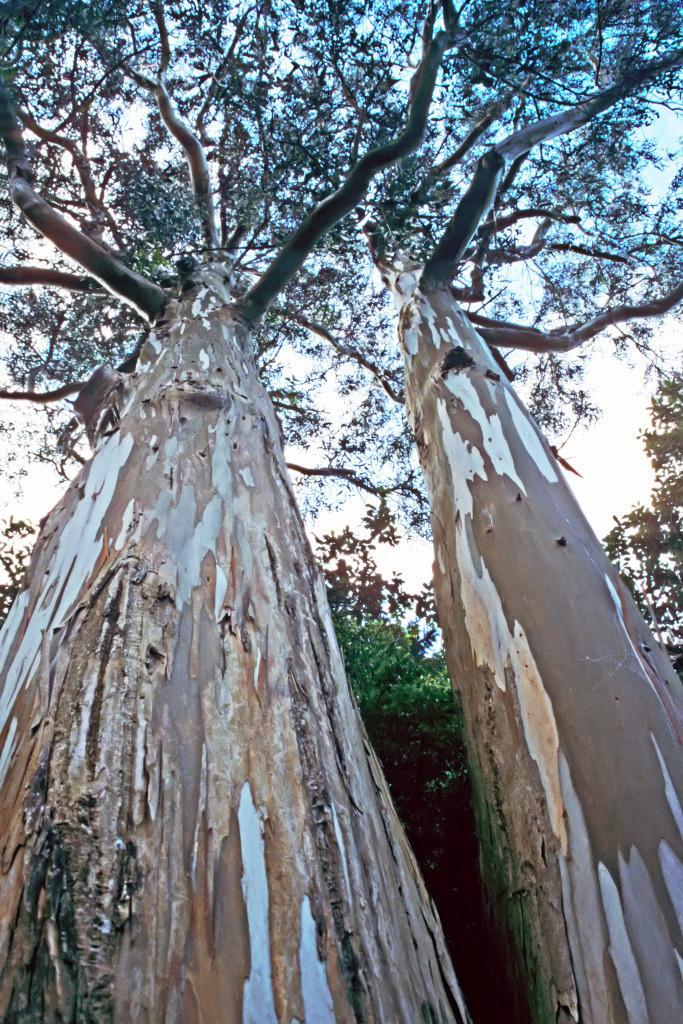 Partnerschaft 14 | Eukalyptusstämme Powerscourt Gardens, Wicklow, Irland