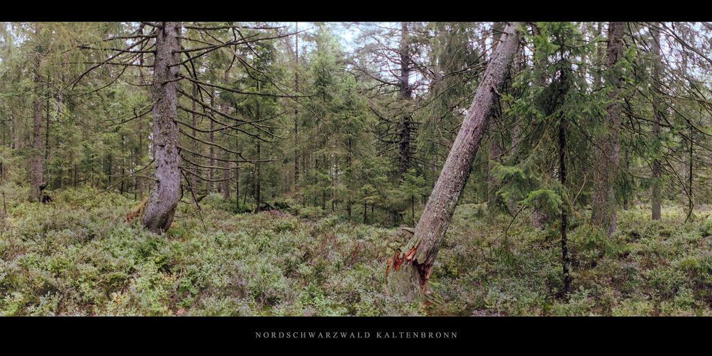 Nordschwarzwald Kaltenbronn   Wald mit Fichten und Tannen im Hochmoor Kaltenbronn im Schwarzwald