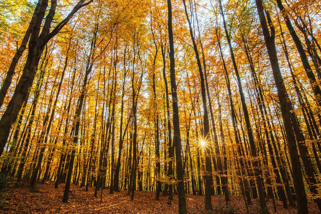 JT-121118-089 | Herbstlicher Wald, Buchen Bäume,