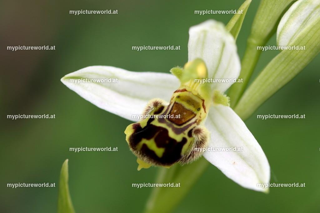 Bienen-Ragwurz-014