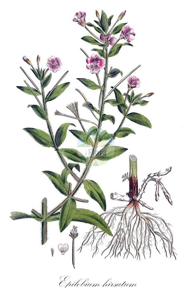 Historical drawing of Epilobium hirsutum (Great Willowherb)   Historical drawing of Epilobium hirsutum (Great Willowherb) showing leaf, flower, fruit, seed