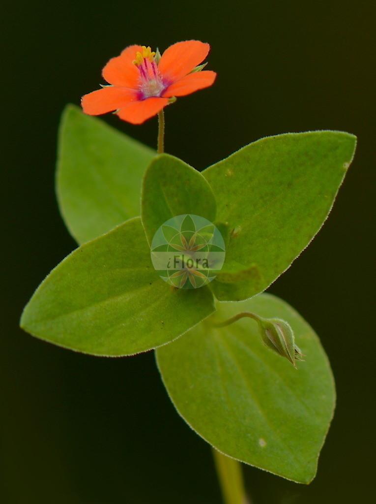 Anagallis arvensis (Acker-Gauchheil - Scarlet Pimpernel)   Foto von Anagallis arvensis (Acker-Gauchheil - Scarlet Pimpernel). Das Bild zeigt Blatt und Bluete. Das Foto wurde in Laufdorf, Schoeffengrund, Lahn-Dill-Kreis, Hessen, Deutschland, Taunus aufgenommen. ---- Photo of Anagallis arvensis (Acker-Gauchheil - Scarlet Pimpernel).The image is showing leaf and flower.The picture was taken in Laufdorf, Schoeffengrund, Lahn-Dill district, Hesse, Germany, Taunus.