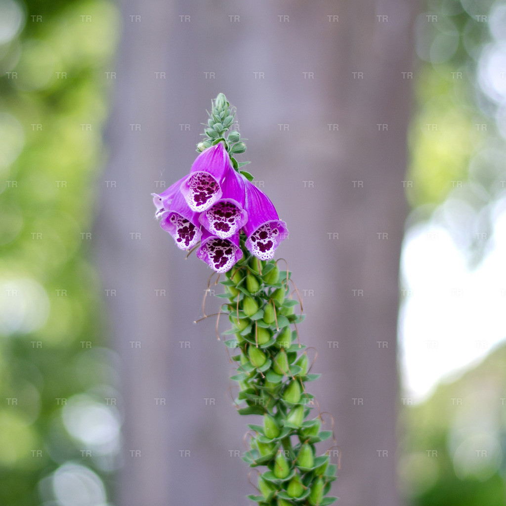 Digitalis purpurea - Heimischer Fingerhut