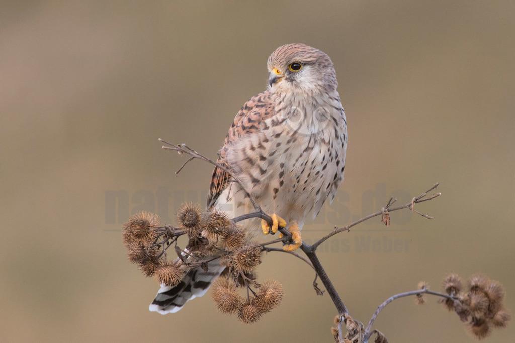 20180916-663A1729 Kopie | Der Turmfalke (Falco tinnunculus) ist der häufigste Falke in Mitteleuropa. Vielen ist der Turmfalke vertraut, da er sich auch Städte als Lebensraum erobert hat und oft beim Rüttelflug zu beobachten ist.