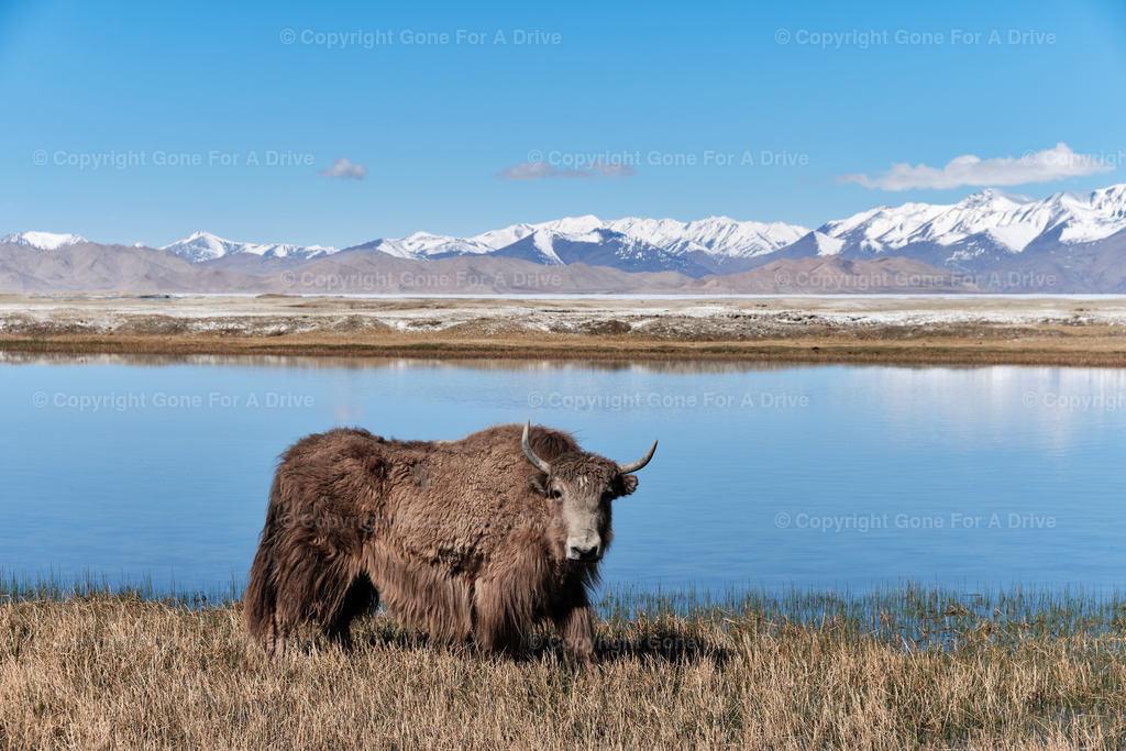 Tadschikistan | Yak am Karakul See auf etwa 4.000 m Höhe am Pamir Highway.