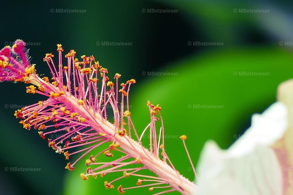 P1000708 | Viele Arten des Hibiskus sind als Züchtung vertreten