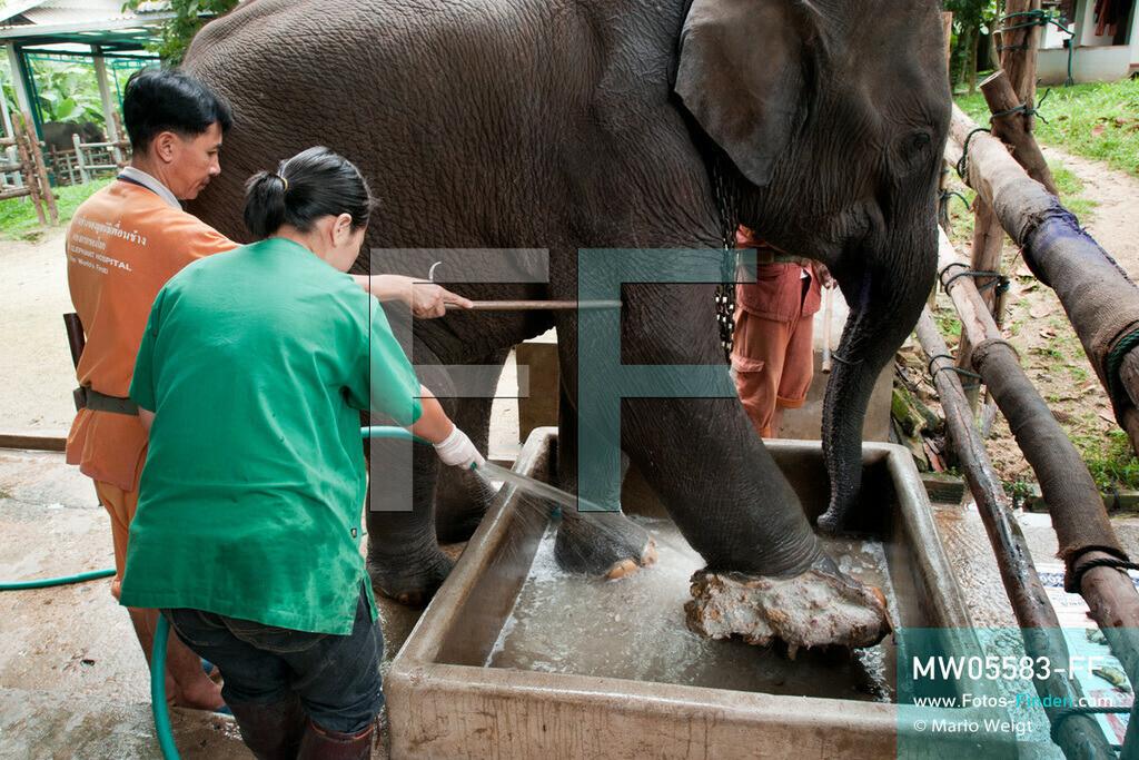 MW05583-FF   Thailand   Lampang   Reportage: Krankenhaus für Elefanten   In der Krankenstation behandelt Tierärztin Cruetong Kayan Elefant Boonmee, der nahe der burmesischen Grenze auf eine Landmine getreten ist.   ** Feindaten bitte anfragen bei Mario Weigt Photography, info@asia-stories.com **