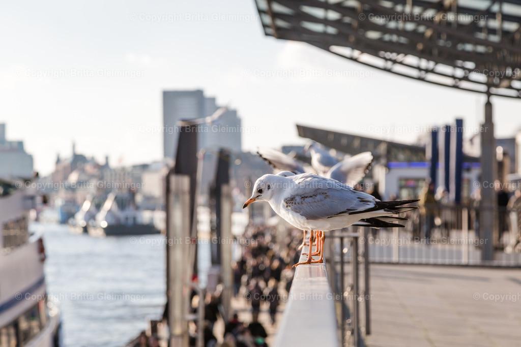 Landungsbrücken, Hamburg | Eine von vielen Möwen im Hamburger Hafen. Hier zu sehen die Landungsbrücken, Blickrichtung Fischmarkt.