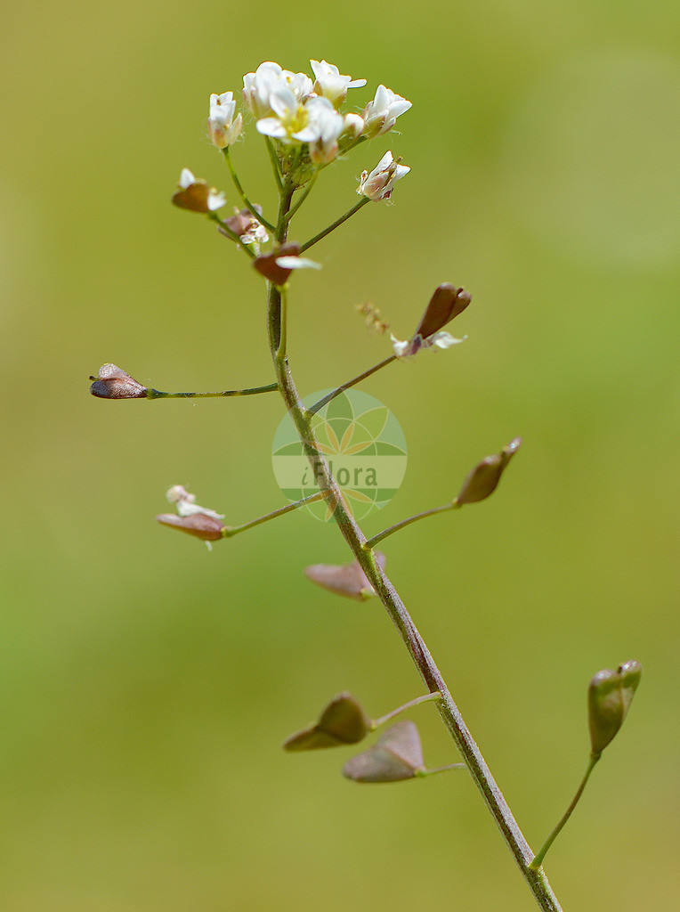 Capsella bursa-pastoris (Gewoehnliches Hirtentaeschel - Shepherd's-pur   Foto von Capsella bursa-pastoris (Gewoehnliches Hirtentaeschel - Shepherd's-purse). Das Bild zeigt Bluete. Das Foto wurde in Hessen, Deutschland, Oberrheinisches Tiefland und Rhein-Main-Ebene, Untermainebene aufgenommen. ---- Photo of Capsella bursa-pastoris (Gewoehnliches Hirtentaeschel - Shepherd's-purse).The image is showing flower.The picture was taken in Hesse, Germany, Oberrheinisches Tiefland and Rhein-Main-Ebene, Untermai