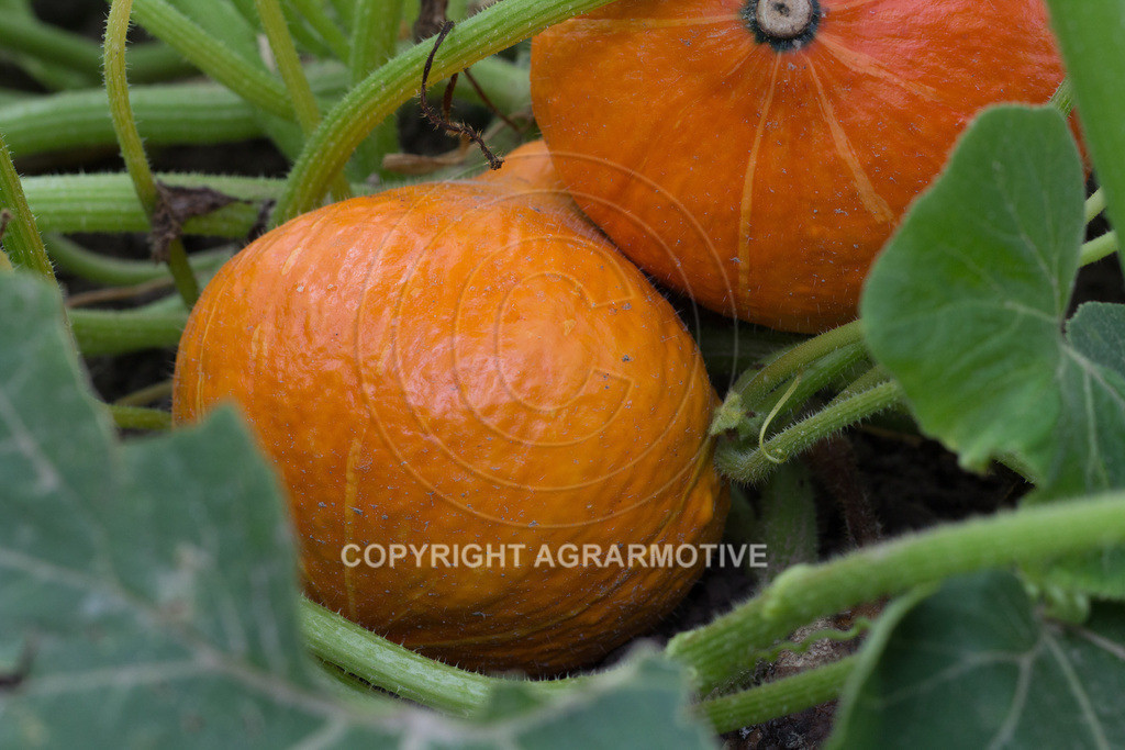 20160814-_MG_8086 | Kürbispflanzen