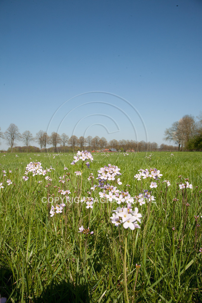 20100423-IMG_5714 | blühende Frühlingswiese - AGRARMOTIVE Bildagentur