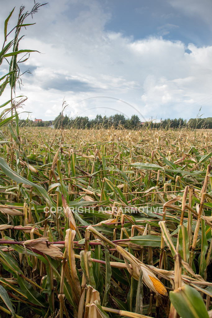 20170917-IMG_1128 | Ernteschaden im Mais durch Herbssturm