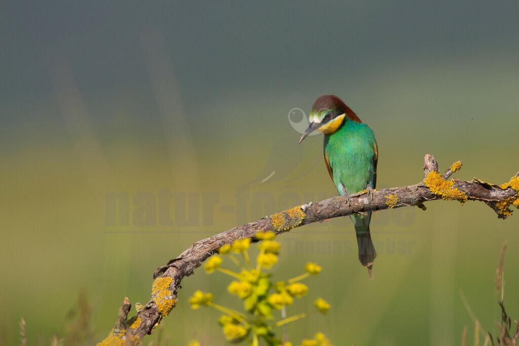 """20140523_163047-2   Der Bienenfresser, selten auch – fälschlich, da nicht zu den Spechten gehörend – """"Bienenspecht"""" genannt, ist ein auffallend bunter Vogel aus der gleichnamigen Familie der Bienenfresser. Er gehört zu den in Afrika überwinternden Zugvögeln."""