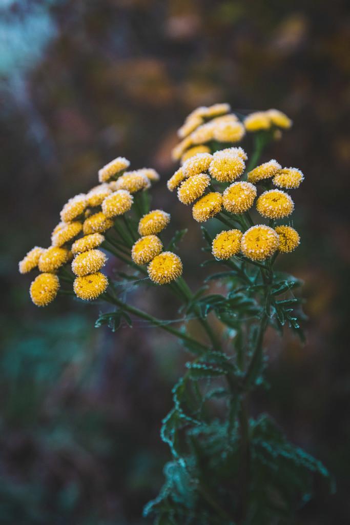 Rainfarn | Blumenmotiv