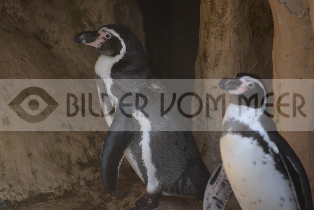 Pinguine Bilder | Foto Pinguin