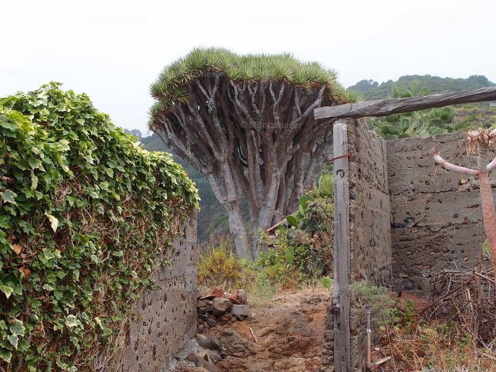 P7166228 | Alter Drachenbaum