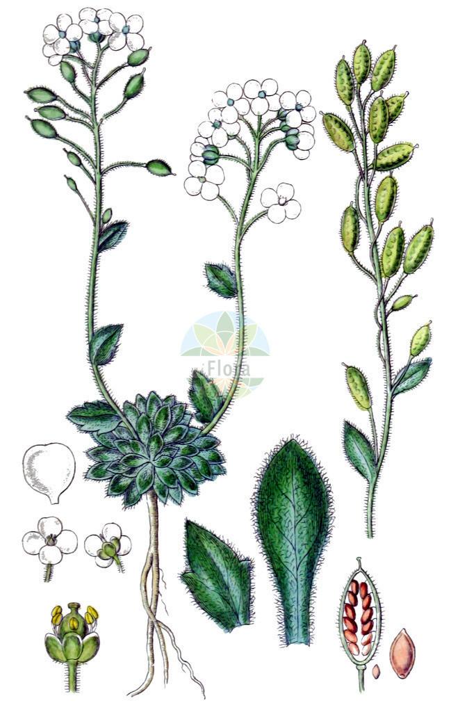 Draba tomentosa (Filziges Felsenbluemchen - Downy Whitlowgrass) | Historische Abbildung von Draba tomentosa (Filziges Felsenbluemchen - Downy Whitlowgrass). Das Bild zeigt Blatt, Bluete, Frucht und Same. ---- Historical Drawing of Draba tomentosa (Filziges Felsenbluemchen - Downy Whitlowgrass).The image is showing leaf, flower, fruit and seed.