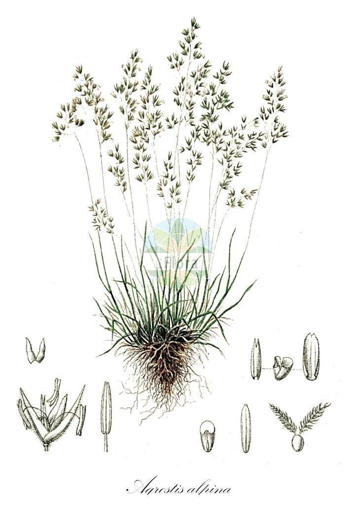 Historical drawing of Agrostis alpina (Bentgrass) | Historical drawing of Agrostis alpina (Bentgrass) showing leaf, flower, fruit, seed