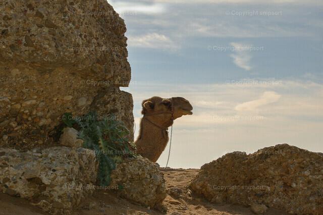 Kamel hinter einer Klippe | Der Kopf eines Kamels ragt hinter einem Steinfelsen hervor.