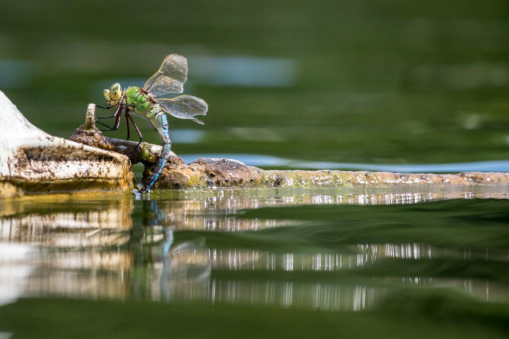 Trinkende Libelle