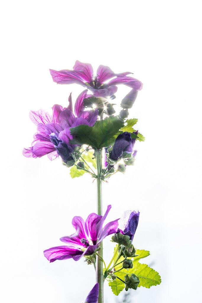 Violette Blume Highkey