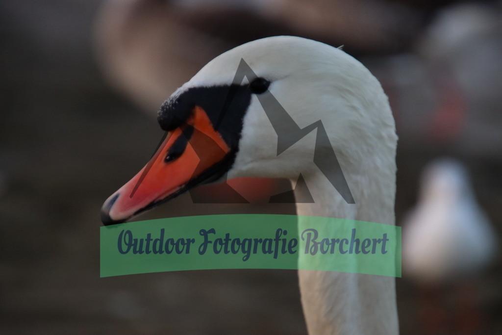 IMG_0436 | SchwanPorträt