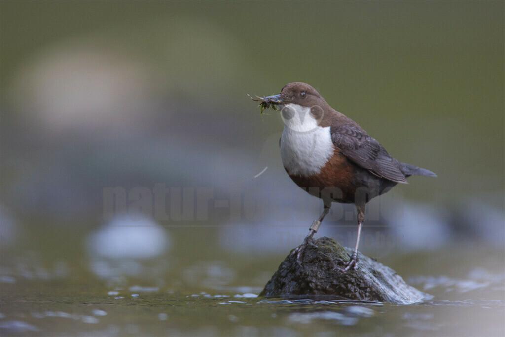 20180428-663A4364 | Die Wasseramsel oder Eurasische Wasseramsel (Cinclus cinclus) ist die einzige auch in Mitteleuropa vorkommende Vertreterin der Familie der Wasseramseln (Cinclidae). Der etwa starengroße, rundlich wirkende Singvogel ist eng an das Leben entlang schnellfließender, klarer Gewässer gebunden. Dort ernährt sich die Art vornehmlich von Wasserinsekten, die sie vor allem tauchend erbeutet.
